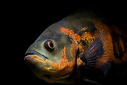ONE STOP PET SHOP- ORNAMENTAL FISHES .....