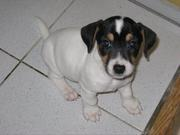 JACK RUSSEL TERRIER PUPPIES @ CAPITALKENNEL