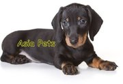 Dachshund  Puppies  For Sale  ® 9911293906