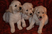 GOLDEN RETRIEVER PUPPIES FOR SALE  @ ANSHUKENNEL