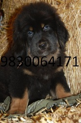 IMPORTED TIBETAN MASTIFF PUPPIES FOR SALE AT CLAWSNPAWSKENNEL