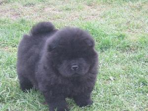 Chow Chow Puppies For Sale 09830064171 Haryana Pet Supplies