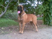 ENGLISH MASTIFF FEMALE